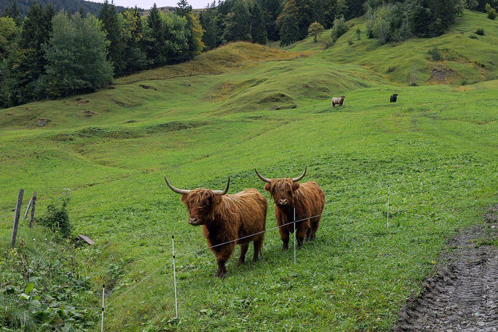 Schweizer Kühe